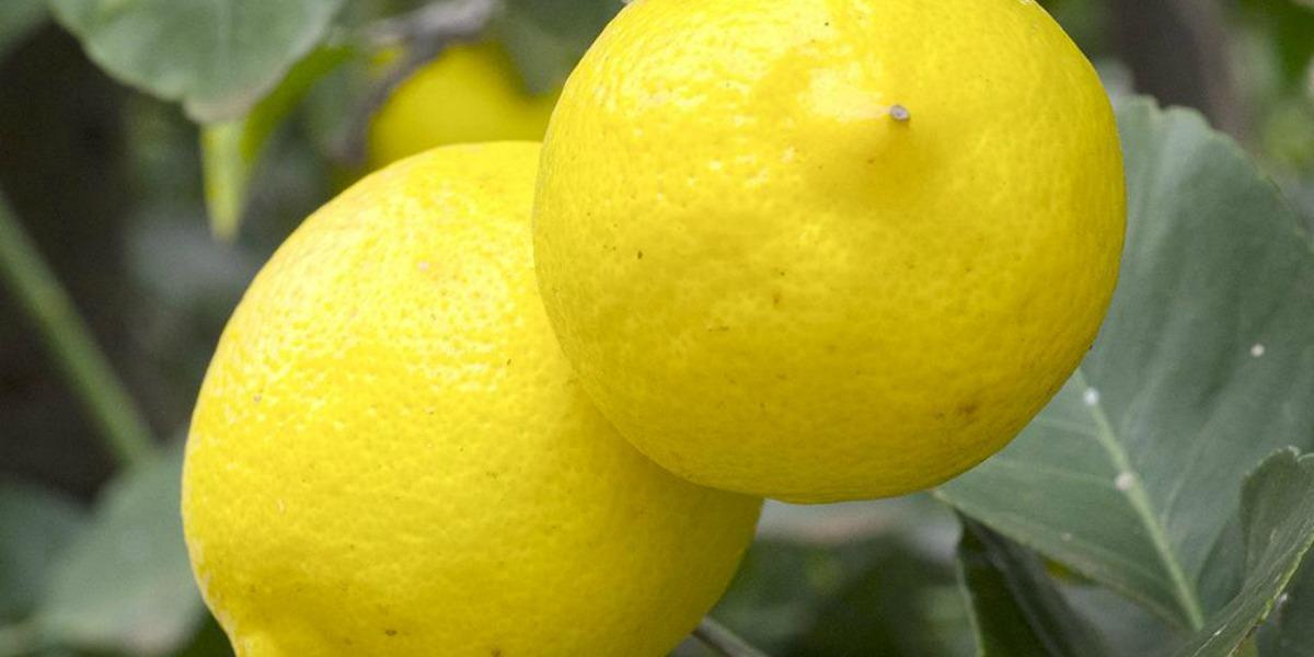 Le jus de citron comme peeling - Quand cueillir les citrons ...