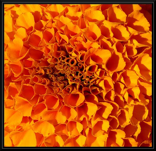 Rose d'Inde - Maxime, source flickr.com